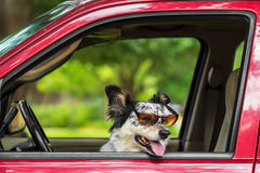 Dog in car wearing sunglasses Stock Images