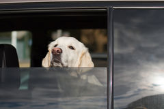 Dog in car window. Dog sticking his head out of a car window Royalty Free Stock Photo