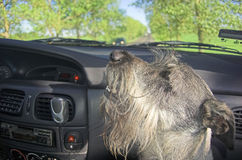 Dog in car window. A dog looking out of a car window during drive royalty free stock images