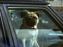 Dog in Car Window. A dog looking out of a car window Royalty Free Stock Image