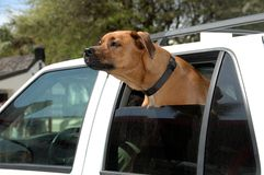 Dog through car window. Dog in the back seat of a car with his head protruding out the half open window. Intent look on his face stock photo