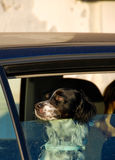 Dog from the car window. Dog refreshes from the car window Royalty Free Stock Image
