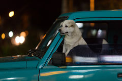Dog in a car window. Waiting for it's owner royalty free stock photos