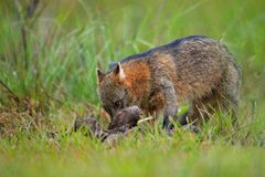 Dog with carcass. Crab-eating fox, Cerdocyon thous, forest fox, wood fox or Maikong. Wild dog in nature habitat. Face evening port. Rait. Wildlife, Pantanal Stock Photos