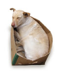 Dog in a cardboard box, isolated on white. Nice dog sleeping in a cardboard box. Isolated on white Royalty Free Stock Photo