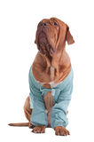 Dog with cardigan Royalty Free Stock Photos
