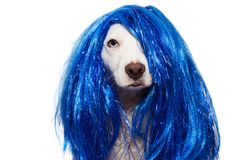 DOG CARNIVAL OR NEW YEAR COSTUME. TERRIER WEARING A BLUE WIG DISGUISE. ISOLATED ON WHITE BACKGROUND. DOG CARNIVAL OR NEW YEAR COSTUME. TERRIER WEARING A BLUE WIG royalty free stock image