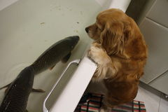 Dog and carp in bath Royalty Free Stock Images