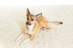Dog on carpet Stock Photos
