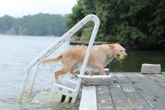 Dog carries the ball to the dock. Dog caught the ball in the water and brings it to the dock Stock Images