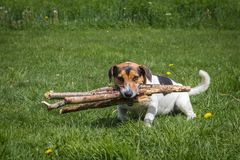 The dog carries firewood through the meadow stock image