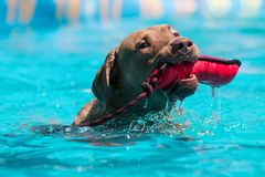 Dog fetches object in mouth at dock jumping competition Royalty Free Stock Photos