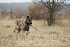 Dog carries a stick. German shepherd runs with a stick in his mouth across the steppe stock images