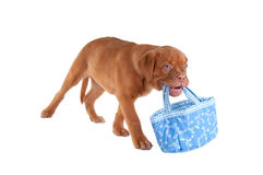 Dog carrying a bag Stock Photos