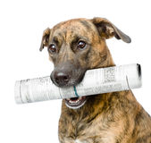 Dog carrying newspaper. isolated on white background Royalty Free Stock Photos