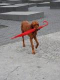 Dog carrying red umbrella Stock Photos