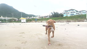 Dog Carrying a Stick on the Beach stock video footage
