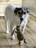 Dog Carrying Toy Stock Photo
