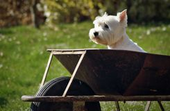 Dog in cart Stock Photos