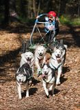 Dog-carting Royalty Free Stock Images