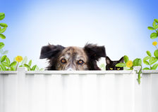 Dog and cat. A dog and a cat peer over a white fence into a neighbors yard. A green anole is on the fence in near the cat royalty free stock photo