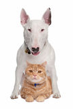 Dog and cat. Bull Terrier dog and short-haired main   coon in front of a white background Royalty Free Stock Photos