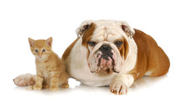Dog and cat. English bulldog and young kitten together on white background Stock Photography