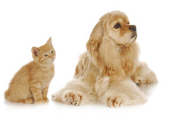 Dog and cat. American cocker spaniel and young kitten together on white background Stock Photo