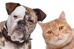 Dog and Cat. English Bulldog and a red cat in front of a white background Stock Photo