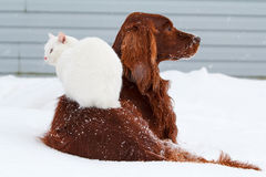 Dog and cat. Red irish setter dog and white cat in snow Stock Images