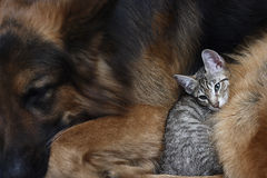 Dog and a cat. Large dog and a cat Stock Photo