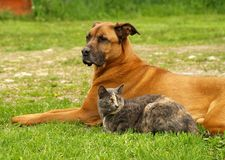Dog with cat. A big dog and little cat lying together in the grass royalty free stock image