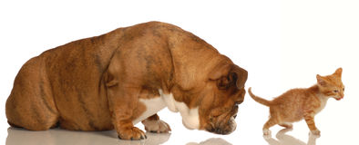 Dog and cat behavior. Animal behaviour - english bulldog sniffing orange tabby kittens backside royalty free stock photography