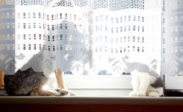 Dog and cat behind curtain Stock Images