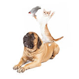 Dog Cat and Bird Playing. A playful cat standing on a large patient Mastiff dog while holding a bird Royalty Free Stock Photography