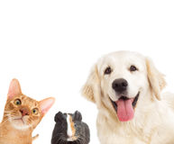 Dog and cat and cavy looking Stock Photography