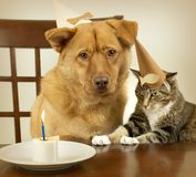Dog and cat celebrating Birthday. Dog and cat sitting at the table and celebrating Birthday anniversary Royalty Free Stock Images