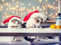 Dog and cat in christmas hat eating food. Happy pet santa stock image