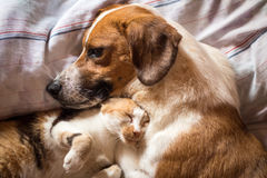 Dog and cat cuddle on bed. A brown dog and cat wake up hugging from a nap Royalty Free Stock Image