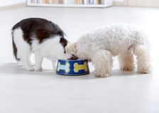 Dog and cat eating from a bowl. Little dog maltese and black and white cat eating food from a bowl at home Royalty Free Stock Photography