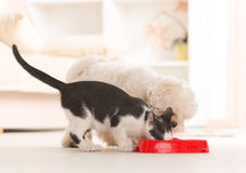 Dog and cat eating food from a bowl. Little dog maltese and black and white cat eating food from a bowl in home Stock Image