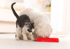 Dog and cat eating food from a bowl. Little dog maltese and black and white cat eating food from a bowl in home Royalty Free Stock Images