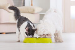 Dog and cat eating food from a bowl. Little dog maltese and black and white cat eating food from a bowl in home royalty free stock photo