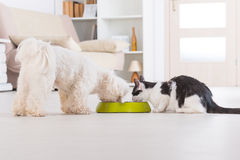 Dog and cat eating food from a bowl. Little dog maltese and black and white cat eating food from a bowl in home Royalty Free Stock Image