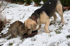 Dog and cat eating from the same dish as a best friends. In the winter time Stock Images