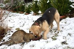 Dog and cat eating from the same dish as a best friends. In the winter time Stock Photography