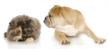 Dog and cat fight. Dog and cat - persian kitten hissing at english bulldog puppy with reflection on white background royalty free stock photos