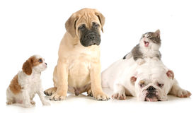 Dog and cat fight. Cavalier king charles spaniel, bull mastiff, english bulldog and domestic long haired kitten arguing isolated on white background Stock Photography