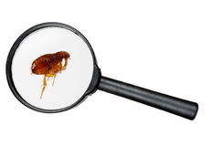Dog or cat flea under real magnifying glass over white Royalty Free Stock Images
