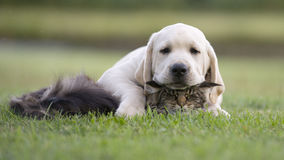Dog and cat friendship. Labrador puppy and maine coon tabby cat Royalty Free Stock Photo